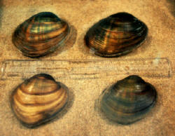 Higgins' eye pearlymussel photo