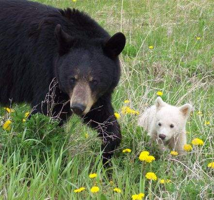Anonomous Photo, White Phase Black Bear Cub, near Superior, Wisconsin